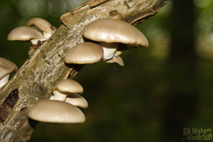 There is not mushroom on that branch